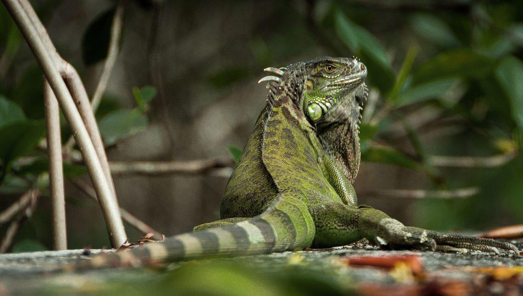 Iguana a Miami