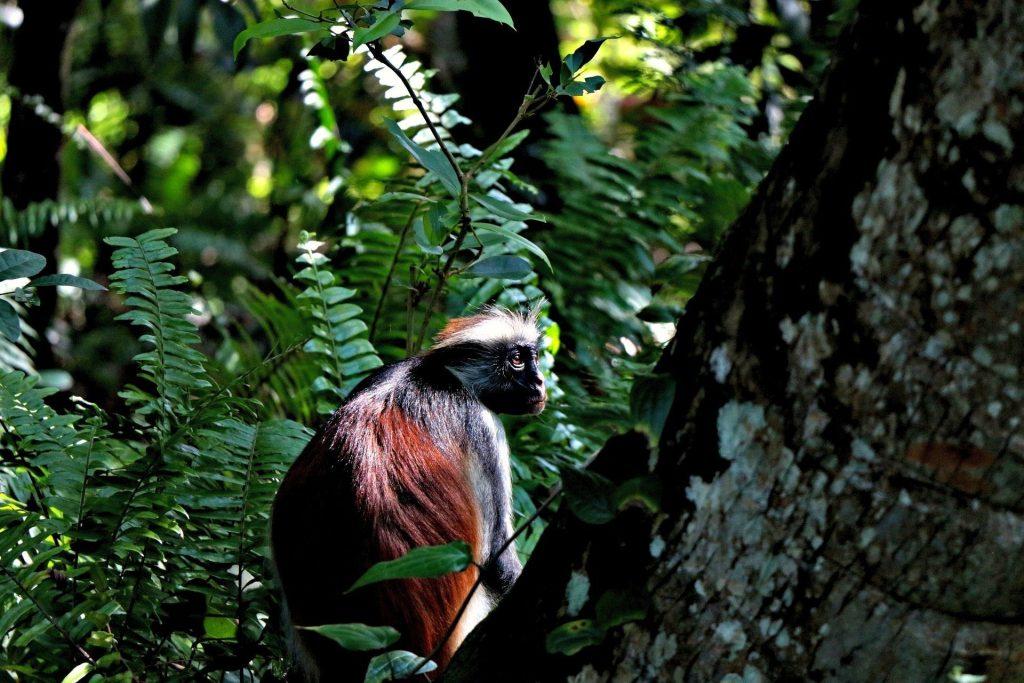 Escursione a Zanzibar : colobo rosso
