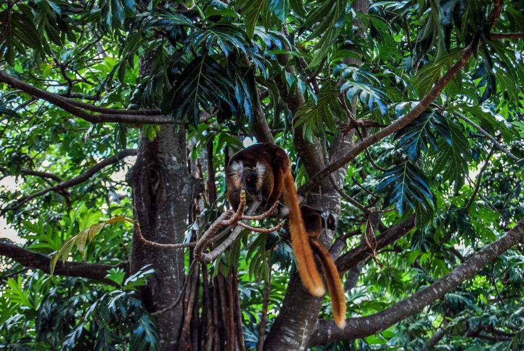 Lemure vari