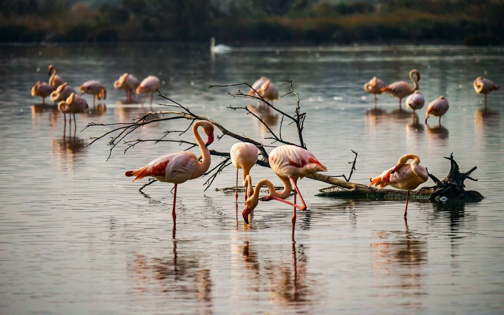 Camargue cosa vedere fenicotteri rosa