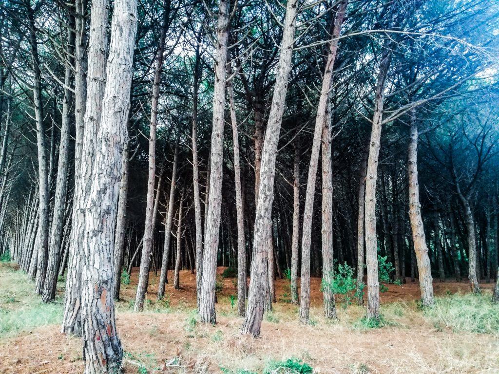 Spiaggia di Paestum pineta