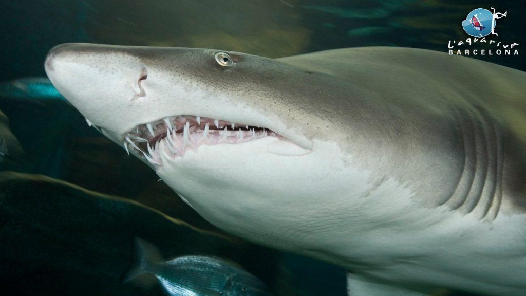 aquarium barcelona squalo toro